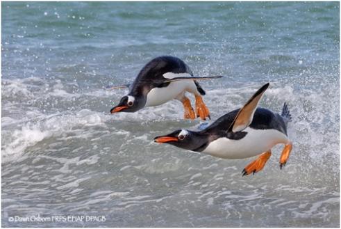 01 Gentoo Penguins porpoise ashore