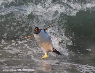 03 Surfing Gentoo