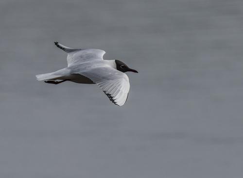 04 Black Headed Gull in Flight