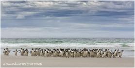 06 Rockhopper Penguins come ashore