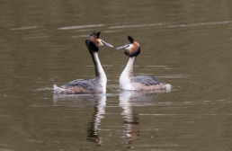 08 Great Crested Grebes