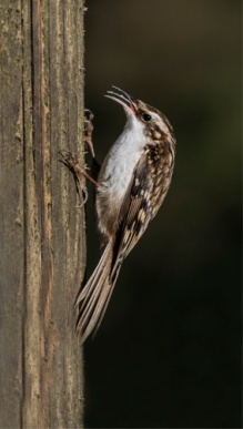 12 Tree Creeper insecting