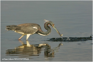 13 Tri-coloured Heron with fish