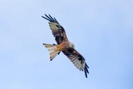 14 Red Kite