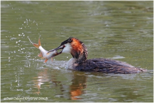 Great Crested Grebe with fish
