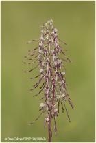 18 Lizard Orchid