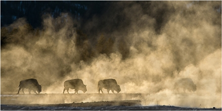 Bison and steam - Michael Windle
