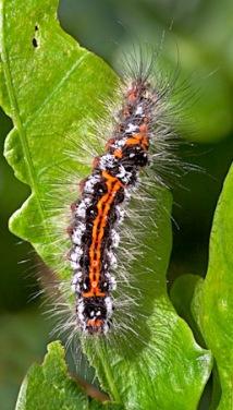 Caterpillar of Yellow Tail Moth
