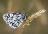 Commended-Marbled White , Male-David Myles