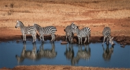 Commended-Zebras Drinking at Waterhole 2-Anthony Timmins