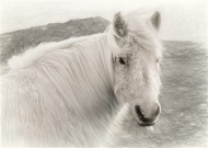 Highly Commended-Iceland Pony-Sandra Starke