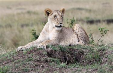 Juvenile Lioness