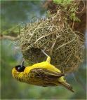 MASKED WEAVER BIRD AT NEST