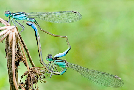 Mating Blue Tailed Damselflies Ischnura Elegans