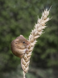 Third-Harvest Mouse-Mick Jennings
