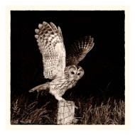 Third-Midnight Tawny-Philippa Wheatcroft