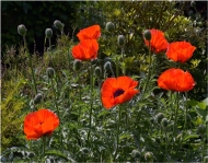 Commended-Backlit Poppies-Roland Booth