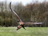 Commended-Eagle Strike-Malcolm Hodgetts
