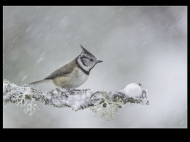 Third-Crested Tit in Blizzard-Philippa Wheatcroft