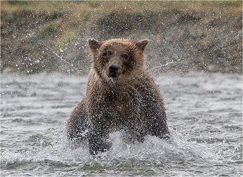 Brown Bear shaking dry - Michael Windle