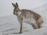 FIAP Ribbon-Yawing Mountain Hare-Ian Mitchell-Scotland
