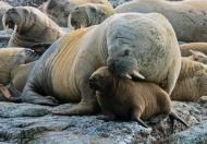 GPU Gold-Protective Mother Walrus-Christine Mallett-England
