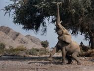 GPU Ribbon-Desert Elephant Reaching for Fruit-Susan Peamain-England