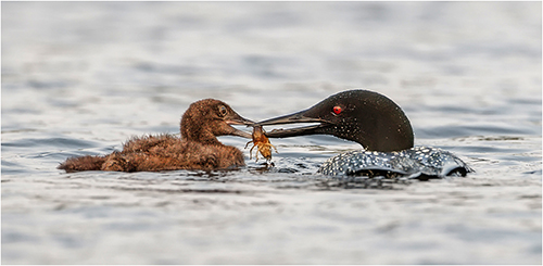 Great Northern Diver and chick - Michael Windle