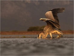 Heron fishing - Margaret Tabner