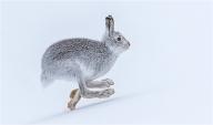 Mountain Hare - Philippa Wheatcroft
