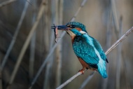 PAGB Ribbon-Kingfisher with Common Newt-Richard Nicol-England