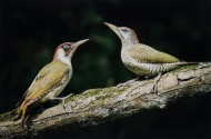 PAGB Ribbon-Male Green Woodpecker with Juvenile-Philippa Wheatcroft-England