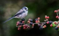 PSA Ribbon-Long Tailed Tit on Blackberries-Alan Grant-England