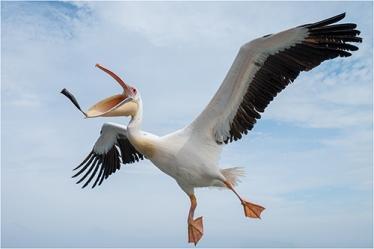 Pelican - Kaz Diller