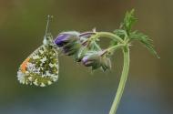 RPS Ribbon-Male Orange-Tip Butterfly on Geranium Flower Buds-Francesca Bramall-England