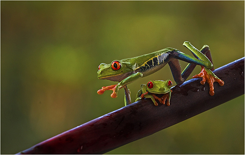 Red eyed Tree Frogs in rain forest - Margaret Tabner