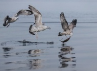 SPS Ribbon-Juvenile Herring Gulls with Fish-Anna Warrington-England