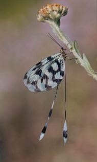 SPS Ribbon-Nemoptera at Rest-Ralph Snook-England