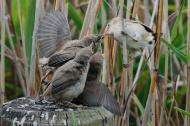 SPS Ribbon-Reed Warbler Feeding Fledglings-Van Greaves-England