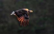 SPS Ribbon-White Tailed Sea Eagle at Sunset-Michael Windle-England