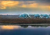 SPS Silver (Dave Coates) -Polar Bear Family Running to Safety-Francis King-Canada
