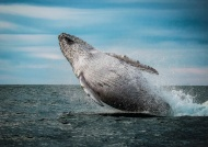 SPS Silver Medal 9Barry Mead)-Humpback Whale Breaching-Mike Coe-England