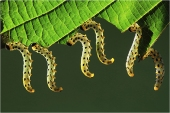 Sawfly lavae - Craesus septentrionalis - Paul Keene