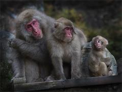 Snow Monkey Family - Peter Siviter