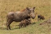 Whart Hog Family