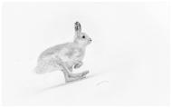 Mountain Hare on the Run - Phillippa Wheatcroft