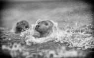 Seal in Surf - Phillippa Wheatcroft