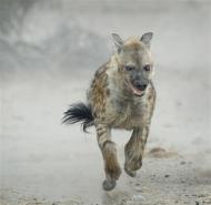 03 FIAP Bronze Medal-Hyena Running-Audrey Price-- England