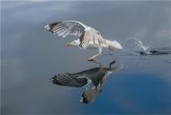 11 PSA Gold medal-Herring Gull Walking on Water-Elizabeth Wallis-- England