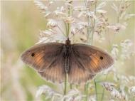 23 SPS Ribbon -Meadow Brown-John Haddon--England